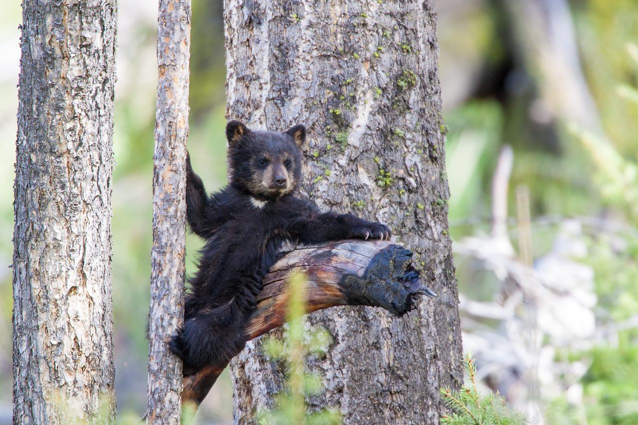 Chocolate Baby Bear Relaxing