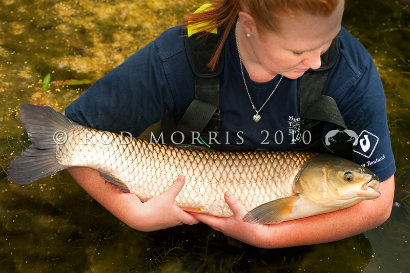 DSC_1223 Grass carp (Ctenopharyngodon idella) were first introduced to NZ in the late 1960's for the purposes of aquatic weed control. Now aquaculturists are looking into their potential to be farmed as food fish for the table.