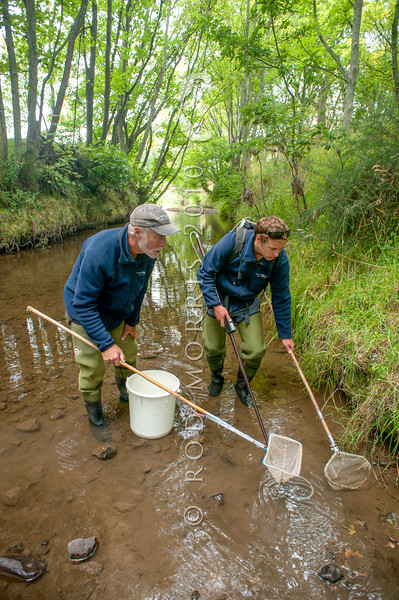 DSC_7069 Pouched lamprey (Geotria australis) NIWA freshwater scientists Don Jellyman and son Phillip, use electro-fishing gear to search for ammocoete larva which live buried in the mud for the first four years or so of their life. Okuti River, Canterbury *