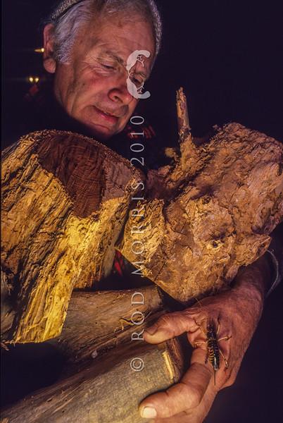 11002-27823  Wellington tree weta (Hemideina crassidens) are often disturbed when collecting firewood *