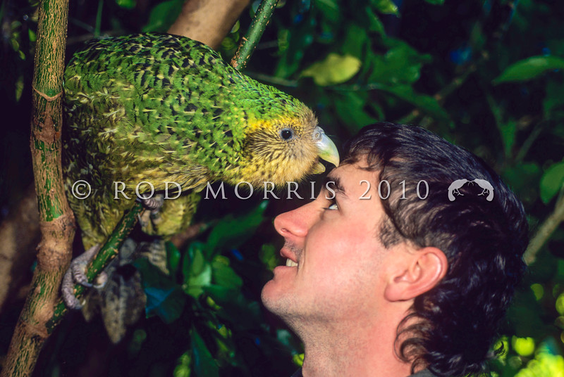11001-71011  Kakapo (Strigops habroptilus) 'Hoki' a five year old female kakapo reared on Maud Island, greets her 'minder' Gideon Climo in the forest in 1997 shortly before she was transfered to Codfish Island *