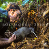 DSC_2025 Okarito brown kiwi, or rowi (Apteryx rowi) DoC officer Duncan Kay removing a bird from its burrow to replace the battery on its transmitter *