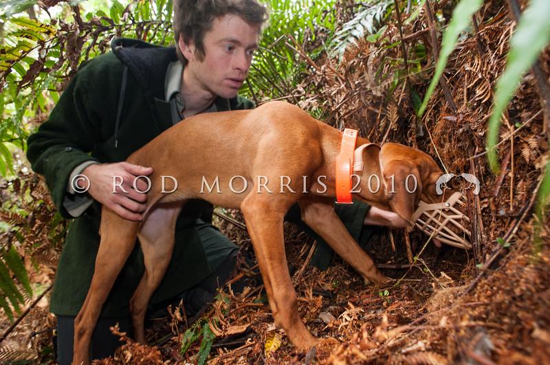 DSC_1269  Okarito brown kiwi or rowi (Apteryx rowi) DoC officer Iain Graham and kiwi dog Rein check out a burrow *