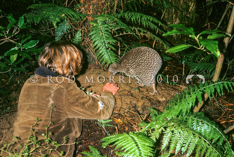 11001-05323 Great spotted kiwi (Apteryx haastii) adult female probing forest floor, approached by Tony Caley. Northwest Nelson *