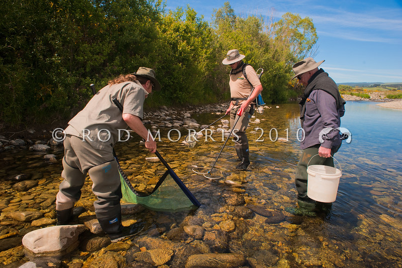 DSC_6219 Lowland Longjaw galaxias (Galaxias cobitinus) Peter Hayden with DoC officers Daniel Jack, and Ciaran Campbell, sampling fish numbers in longjaw habitat in one of the lower reaches of the Waitaki River. Our rarest native fish lives here in marginal shallows of the river channels. Kauru River