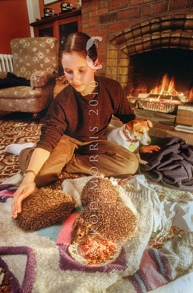 11002-13401  European hedgehog (Erinaceus europaeus) while keeping hedgehogs as pets is opposed by most people, some New Zealanders do rescue and care for sick or orphaned hedgehogs, releasing them again in a month or two, once they have put on condition. Here Ellen Ross helps feed several hedgehogs, that her mother Patricia McKibben has taken in for the winter. Dunedin *