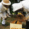 IMG_2570 Honey bee (Apis mellifera) Apiarist Carl Thomson examines a frame of bees from a hive at Hanmer. European Honeybees were first introduced into New Zealand in 1839.