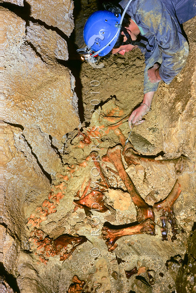 11001-00915 South Island giant moa (Dinornis robustus) caver examining articulated skeleton on cave floor of giant extinct flightless bird once widespread across the South Island of New Zealand. These bones are of a large female moa *