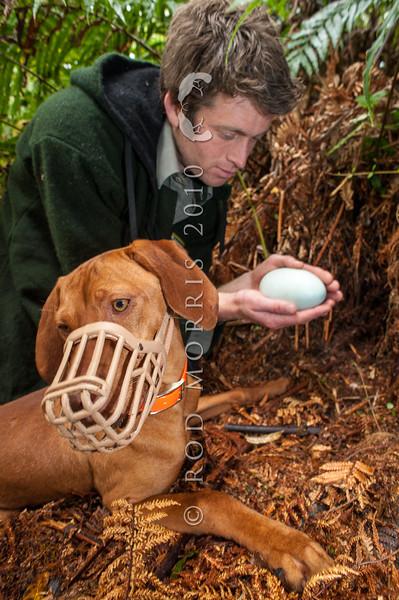 DSC_1302  Okarito brown kiwi or rowi (Apteryx rowi) DoC officer Iain Graham with kiwi dog Rein, remove rowi egg from burrow *