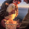 11001-08613 Northern Royal albatross (Diomedea sanfordi) in the early morning light, Taiaroa Head DoC ranger Lyndon Perriman, and Colin Facer weigh Toroa, the 500th chick hatched at the colony. Photographed at Taiaroa Head Albatross Colony, for Smithsonian Magazine *