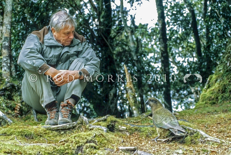 11001-72731 Kea or mountain parrot (Nestor notabilis) with Sir David Attenborough during the filming for 'Life of Birds' *