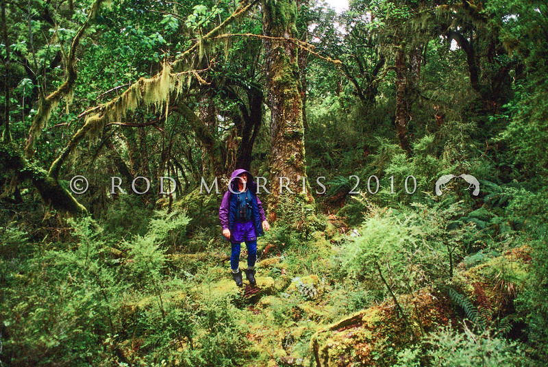 11009-00615 Kennedy Warne wanders through Fiordland's moist beech forest, with branches festooned in mosses and ferns. Snag Burn, Murchison Mountains