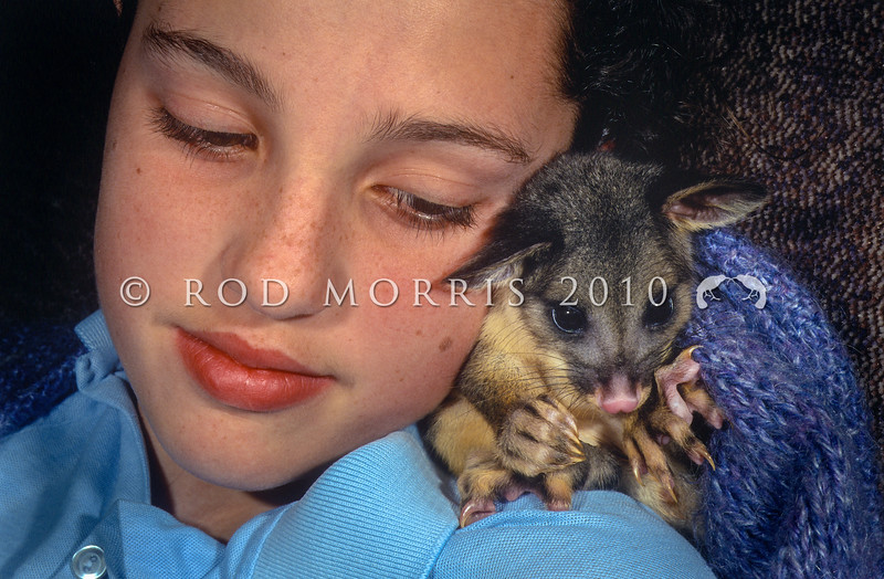 11002-06309  Brushtail possum (Trichosurus vulpecula) a four month old orphan joey hand-raised as a pet. Dunedin *
