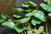 So Many Lily Pads....So Few Frogs