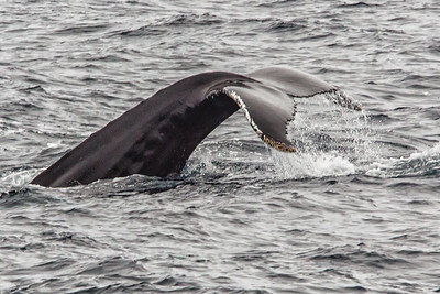 Humpback tail in this position indicates a deep dive
