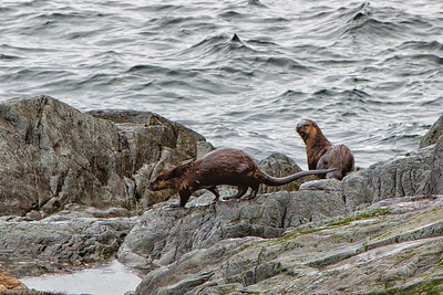 Sea Otters oblivious to us.....for a moment
