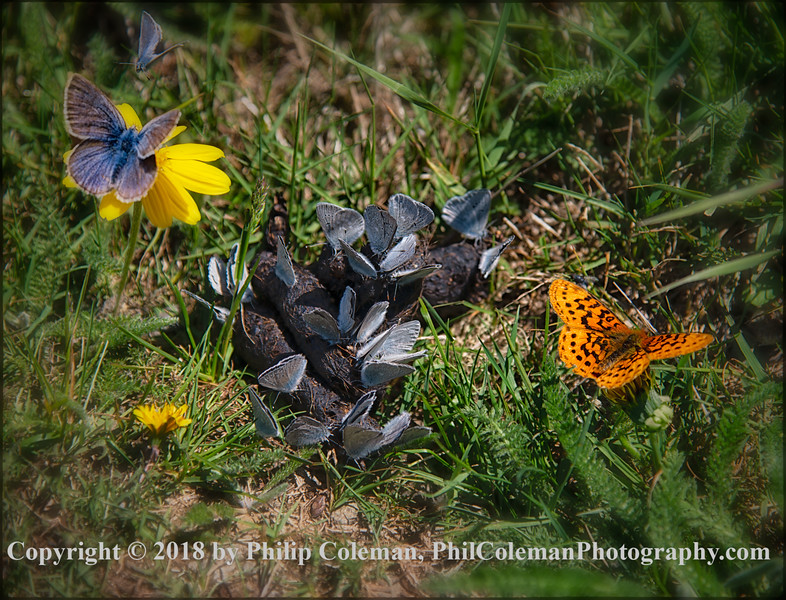 Butterflies on Marys Peak