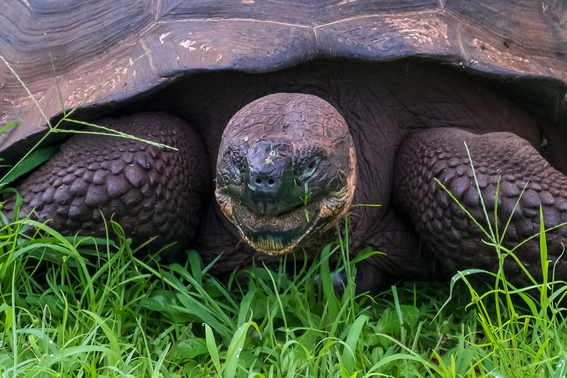 Feeding time is all the time for a Galapagos turtle