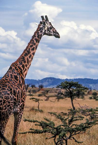 Giraffe In Masai Mara Game Reserve, Kenya, 1979