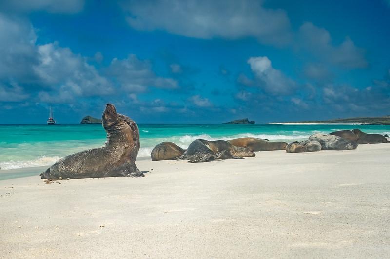 Male sea lion displaying on Gardner Beach, Espanola Island