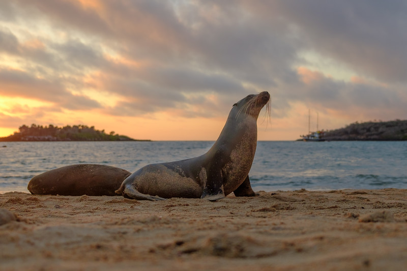 Sea lion on Barrington Bay, Santa Fe Island at sunrise