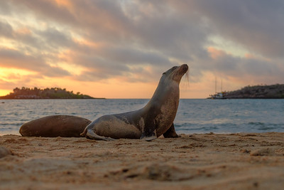 Sea lion on Barrington Bay, Santa Fe Island at sunrise