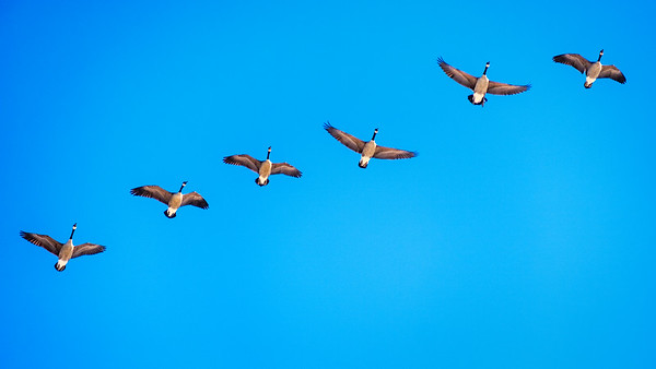 Geese-Line Up-8865