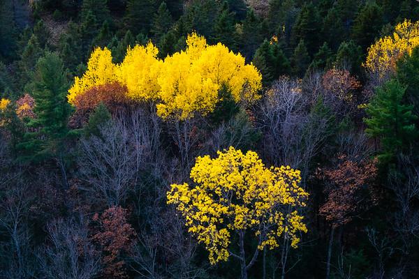 Aspens in color, Gatineau Park
