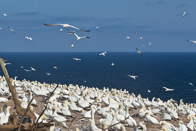 Largest Northern Gannet Colony in the world