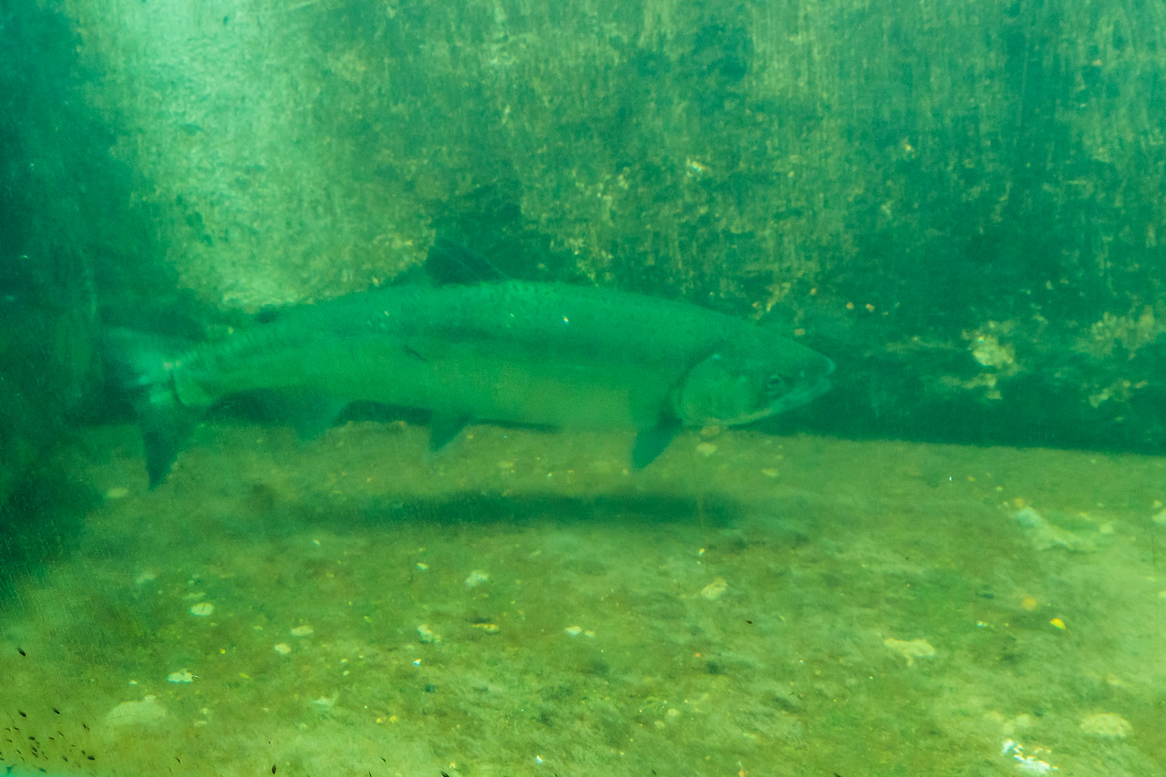 Salmon in the fish ladder