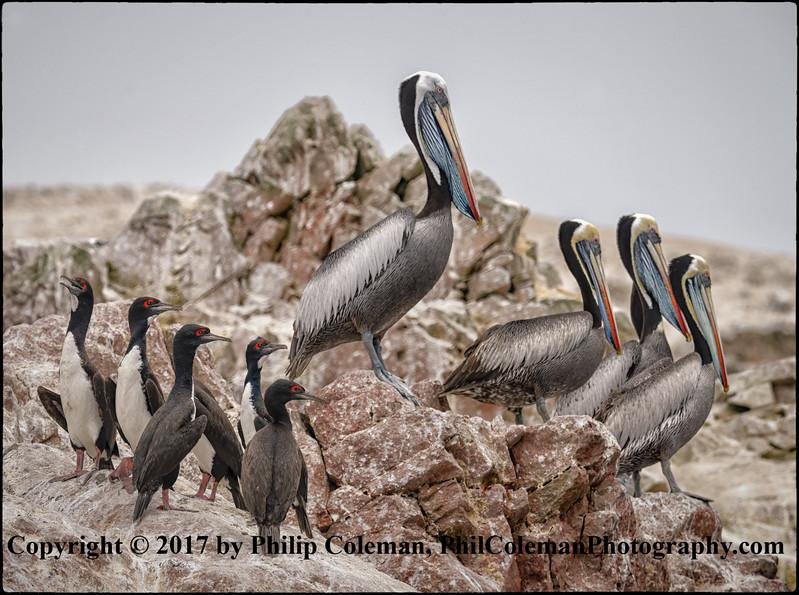 Peruvian pelicans and Guanay Cormorants