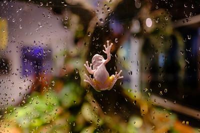 Frog climbing aquarium glass