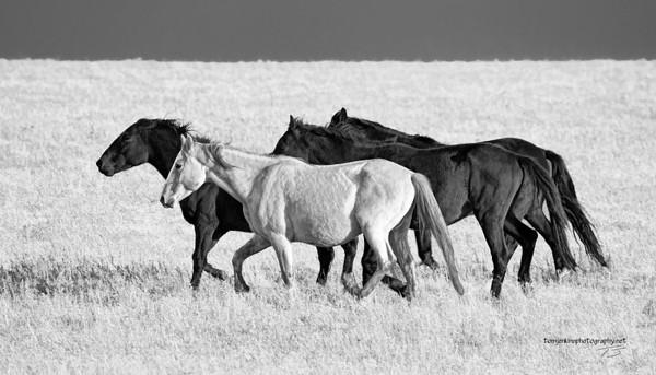 Wild Mustangs 0784