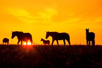 Wild Mustangs 1042