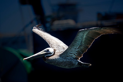Pelican San Diego Bay