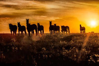Wild Mustangs 0962