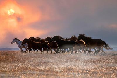 Wild Mustangs Kansas 0751
