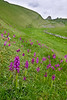 Early purple orchids, Cressbrook Dale, Derbyshire