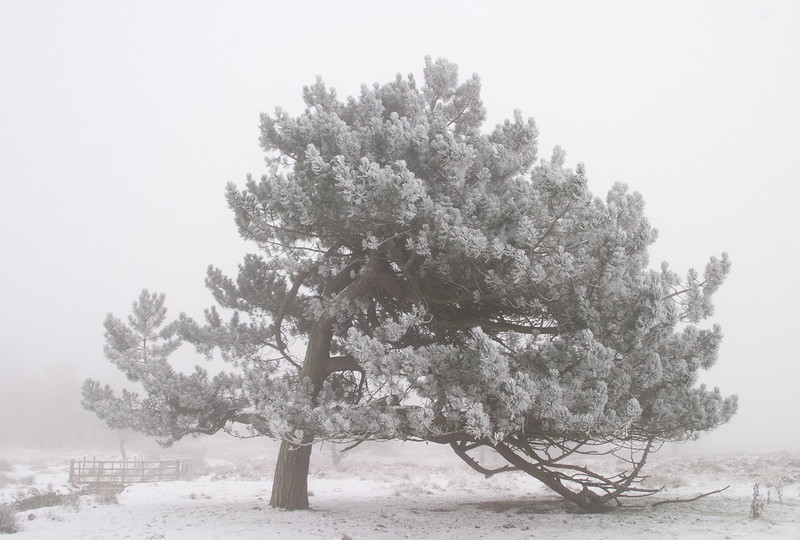 A windswept and frosty Scots pine.