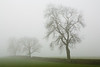 Ash trees in mist, near Bakewell, Derbyshire