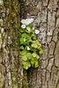 Wood Sorrel, Oxalis acetosella