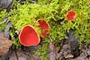 Scarlet Elf Cup fungi, Sarcoscypha austriaca, Millers Dale, Derbyshire