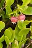 Bilberry, Vaccinium myrtilus, Derwent Moor, Derbyshire