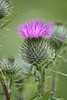 Woolly Thistle, Cirsium eriophorum, Millers Dale, Derbyshire, Peak District