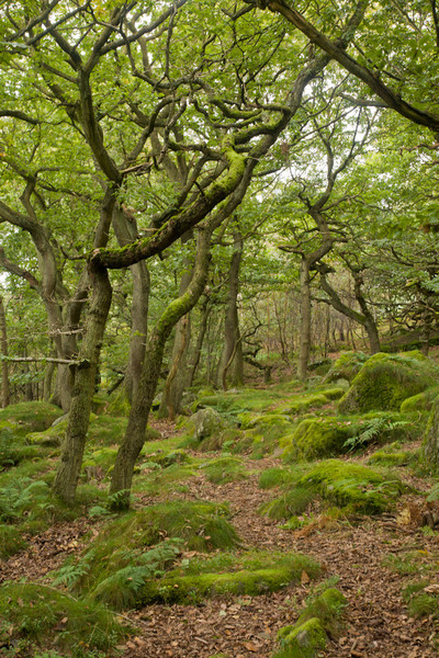 Padley Wood, an ancient oak woodland on the edge of the Peak District.