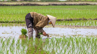 Worker in paddy field
