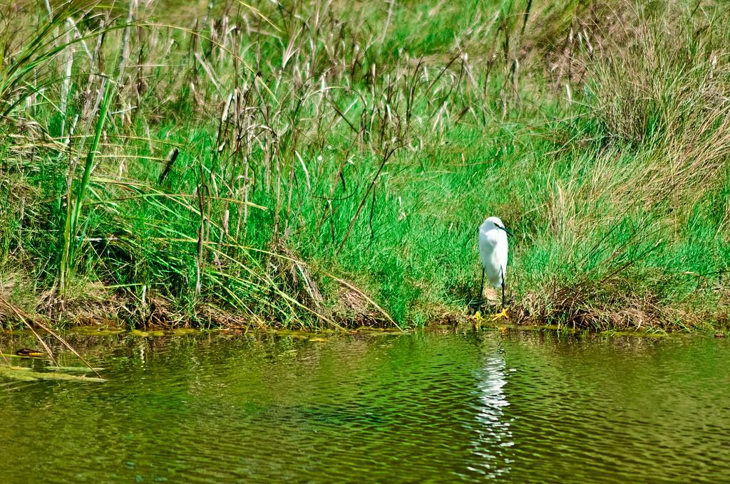 Snow Egret on waters edge