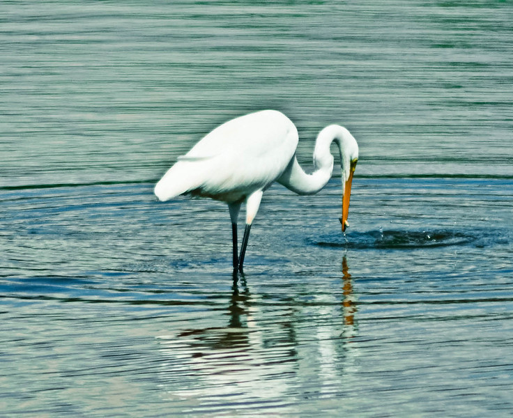 Egret's snack time