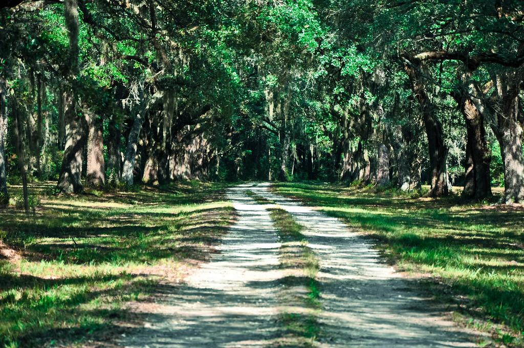 Oak lined driveway