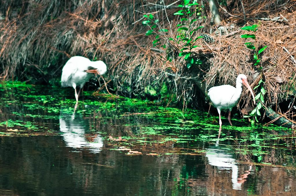 White Ibis'